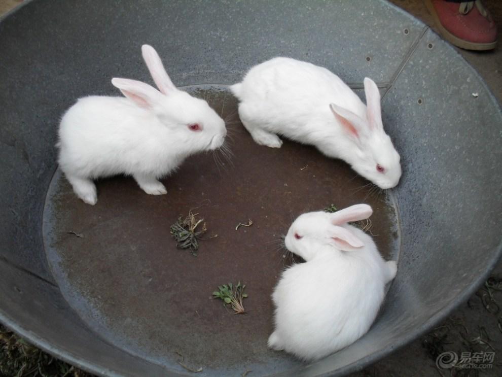 【阳光萌宠】三只可爱的小白兔