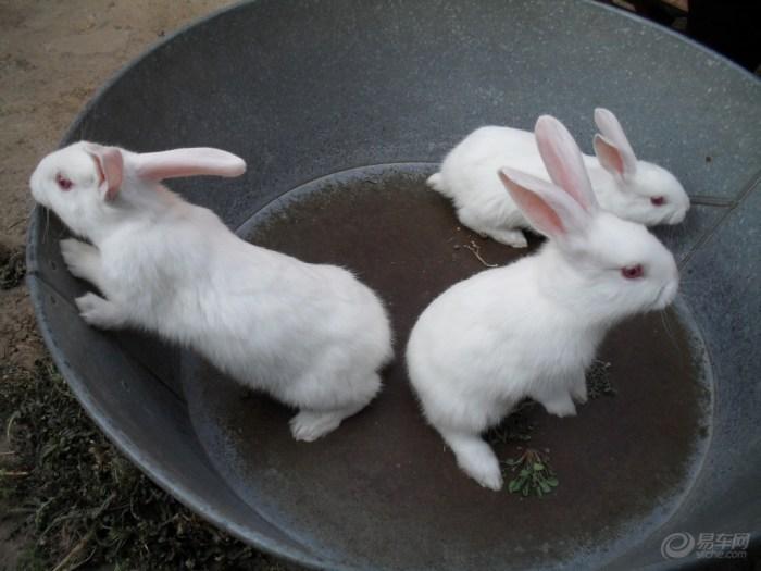 【【阳光萌宠】三只可爱的小白兔】_宠物当家论坛