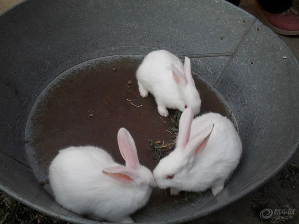 【【阳光萌宠】三只可爱的小白兔】_宠物当家社区图片