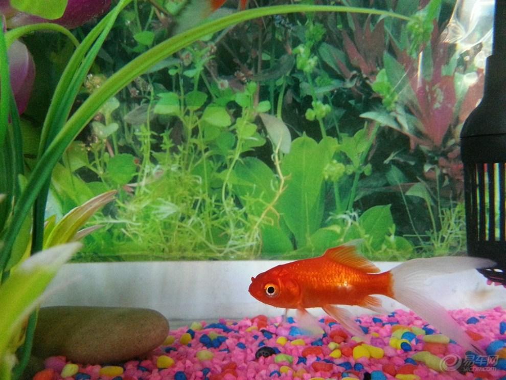 可爱的小金鱼