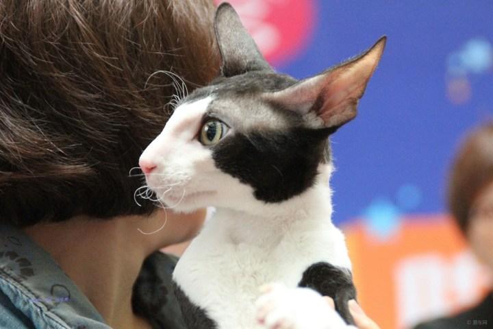 【短毛黑白猫!】_宠物当家论坛