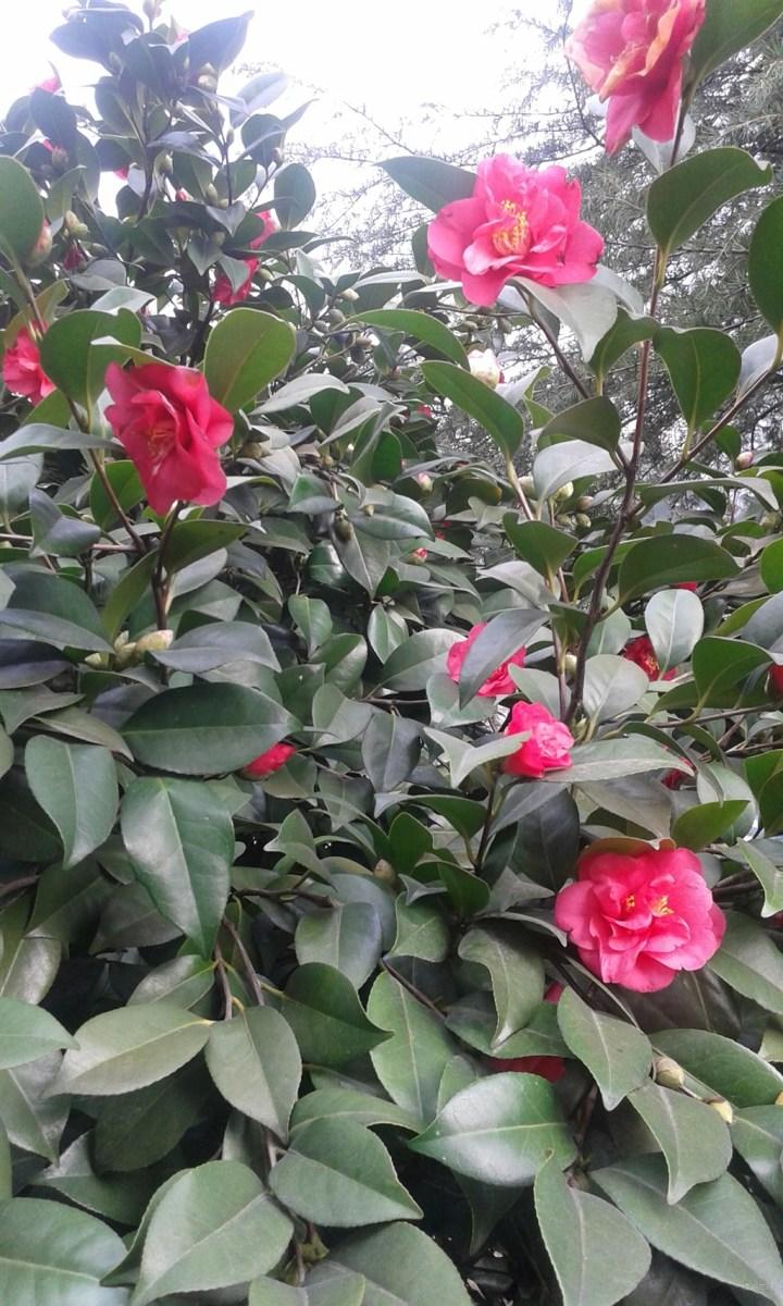 山茶花又名茶花,为山茶科山茶属植物。山茶花花姿丰盈,端庄高雅,为我国传统十大名花之一。也是世界名花之一。山茶花树冠优美,叶色亮绿,花大色艳,花期又长,正逢元旦、春节开花。盆栽点缀客室、书房和阳台,呈现典雅豪华的气氛。在庭院中配植,与花墙、亭前山石相伴,景色自然宜人。看看这些漂亮的山茶花吧。请大家欣赏
