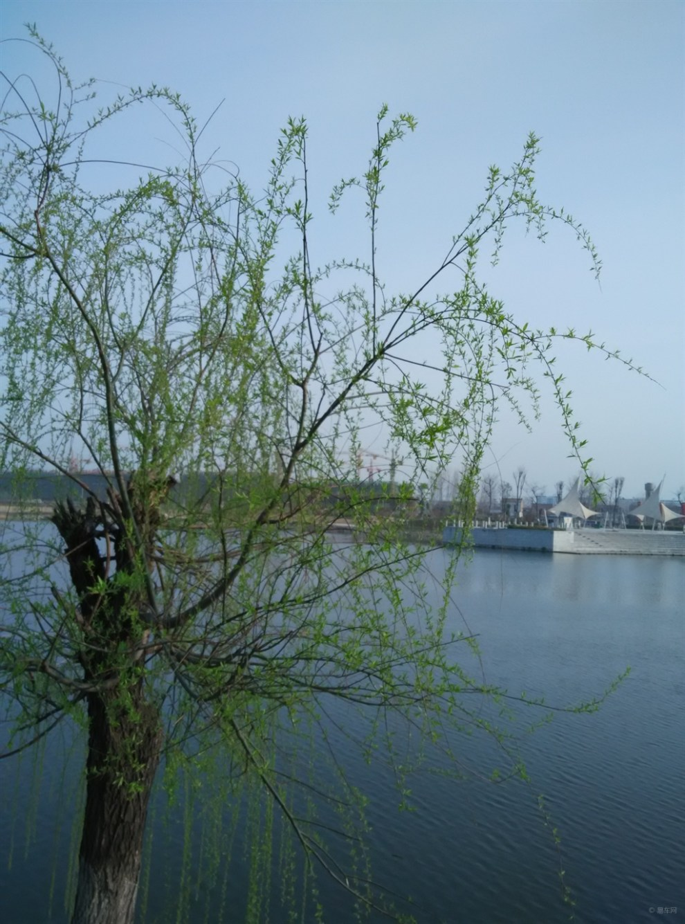 壁纸 垂柳 风景 柳树 摄影 树 桌面 990_1335 竖版 竖屏 手机