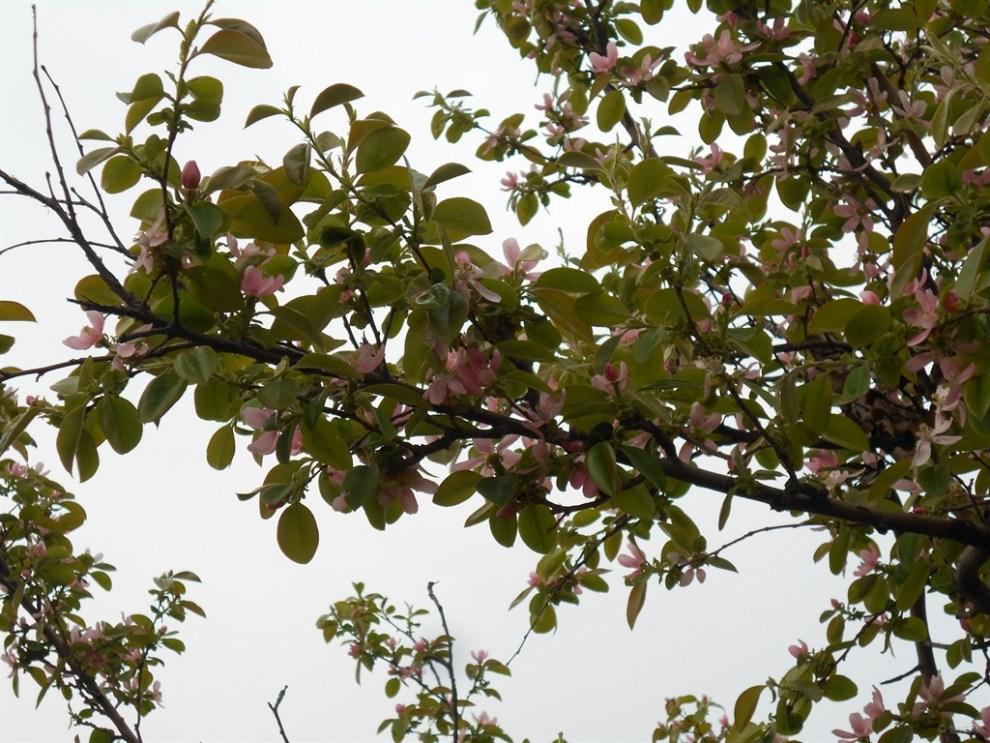 【【首发】木瓜树开花】