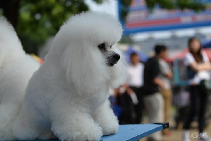 贵宾犬 美容/朋友喂养的贵宾犬,有时间总喜欢给它美容一下,洗个澡、修剪...