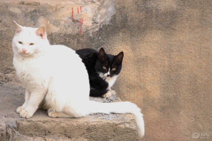 家猫的祖先据推测是起源于古埃及的沙漠猫