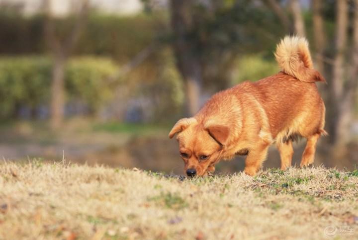 春天来了,大地一片春的气息。草地上的狗狗也一路嗅着春天的气味遛哒了过来。看的出来,这是只狗妈妈,一举一动颇有女士风范。其实她就是一只成年土狗,已经难有撒野扯欢的兴趣了。不过,她的沉稳冷静,却有着别有的韵味。这种犬较适合做伴侣犬。伴侣犬通常指不参与工作,仅为人类做伴,常给老人,贵夫人,等女性,还有小孩带来乐趣的犬。这类犬中不同品种的体型和性格有很大差异,如娇小安静的北京犬和活跃快乐的大麦町犬,最佳选择是拉布拉多犬。就感情、忠实和性情而言,决定的因素是犬的品种,而不是犬的性别。不过,在同一品种内,公犬一.