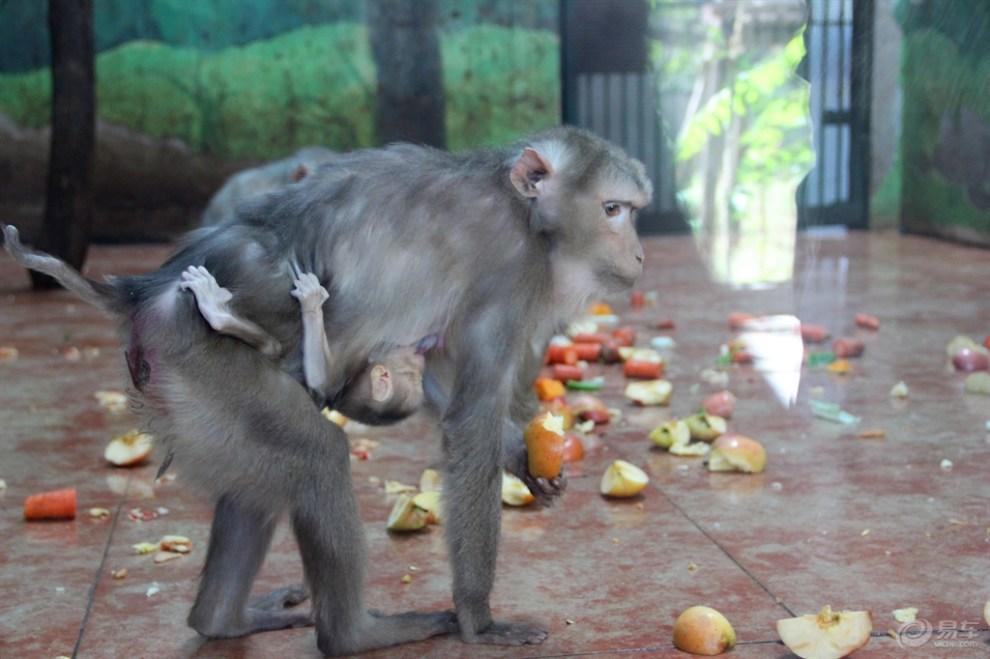 天津动物园猴子篇(1)