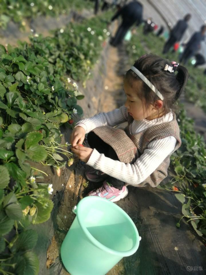 周末和宝骏车友们一起感受春天,摘草莓,享生活