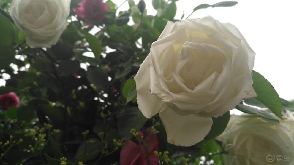 花团锦簇的玫瑰