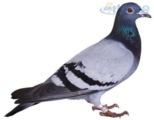 qqme改装变肥体鸽子 高清图片