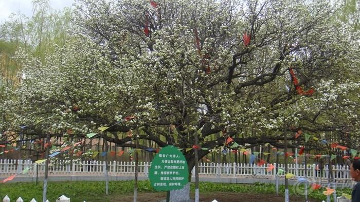 哈尔滨风景掠影---东北王张作霖之古梨树开花