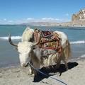 雪山一头牛