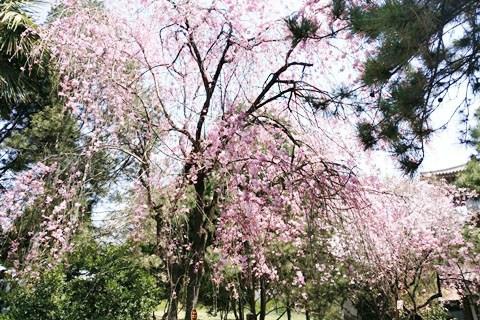 踏春青龙寺 (°з°)-粉色治愈系樱花